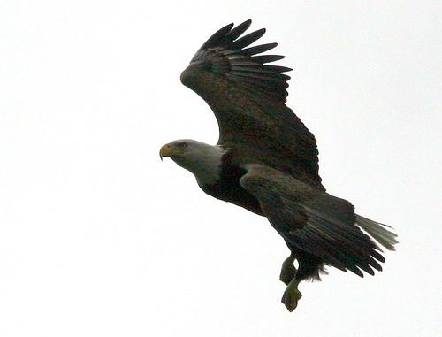 Bald Eagle 20101230