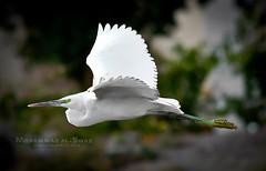 - Bubulcus ibis (Mohammad AL-Suwid ) Tags: city industrial  jubail