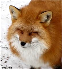 (Sarah-Vie) Tags: fox renard