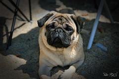 Trasgu 3 (Patricia Cuervo) Tags: dog canon pug asturias playa perro silencio carlino 400d gavieru