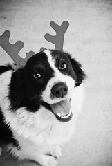Happy New Year! (Design.Her) Tags: blackandwhite bw dog white black cute film smile contrast 35mm puppy reindeer 50mm fly costume minolta fuzzy superia antlers 400 fujifilm bordercollie 135 rokkor minoltaxe7 designher