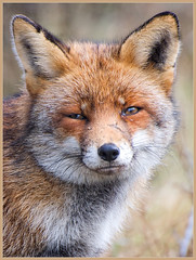 Wild Fox Portrait (Joost N.) Tags: wild fox wilde vos awd nederland holland hunter dutch winter cold hunt duinen dunes injured fight portrait reintje de nature natuur predator roofdier red rode fighter smart foxy moervos rekel closeup 300mm nikon nikkor 70300 specanimal sluw expression face gezicht nasty looking stare nose vulpesvulpes dichtbij natuurwandeling wandelen joostnottenphotography 100commentgroup bestofblinkwinners