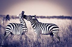 Its just a love bite (Nicholls1) Tags: africa kenya zebra masaimara