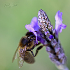 Bee & Lavender (Lavendula) = Honey (S@ilor) Tags: espaa costa green spain mediterranean purple lavender bee honey granada tropical nectar costadelsol pollen andalusia 1001nights honeybee almucar flovers lavendula costatropical bej wildbee mywinners wildlavender southofspain sweethoney beelavender silor beeworker ahqmacro beepurple bestofblinkwinners beelavenderhoney wildlavenderandbee tastyhoney lavendulaflowers