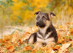 German Shephard dog puppy by eduCani