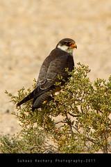 Amur Falcon (Falco amurensis) Juv. (suhaaz Kechery) Tags: qatar canon60d falcoamurensis suhaazkechery birdsofqatar mekaines sigma150500dgapoos amurfalconfalcoamurensis arkhiafarm