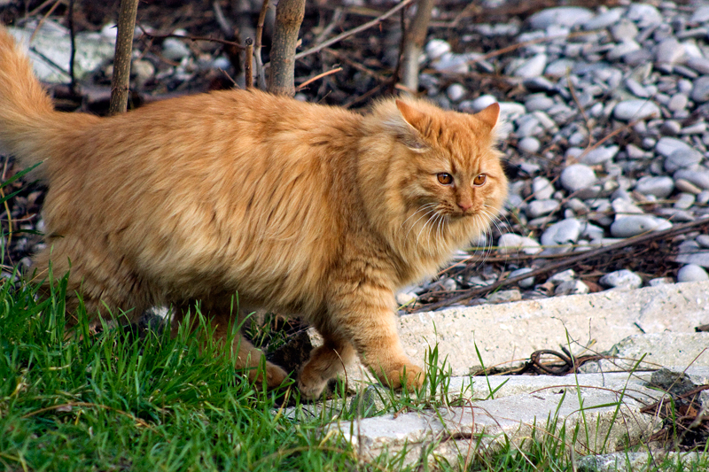 Crimean tiger :]