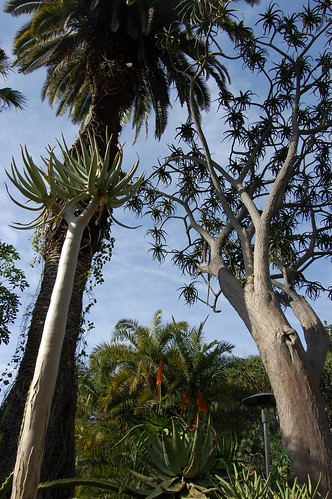 Aloe dichotoma.