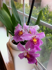 20110108 Orchid