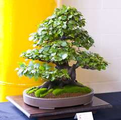 Common European Beech Bonsai Tree (Fagus sylvatica) at Don Valley Bonsai Roadshow, Sheffield (Steve Greaves) Tags: wood old greenleaves brown tree art yellow ceramic japanese miniature stand wooden moss spring ancient european expo display stadium sheffield nursery style exhibit exhibition roadshow pot mature bonsai weathered aged oriental common upright eurasian beech stoneware livingsculpture southyorkshire donvalley informal fagussylvatica ceramicpot bambooscreen yamadori nikond300 nikon18200mmf3556gifedafsvrdxlens