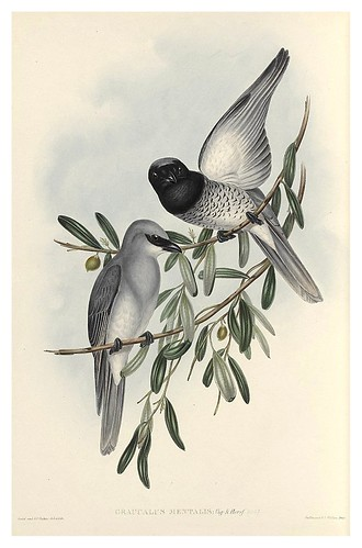 017-Graucalus Mentalis-The Birds of Australia  1848-John Gould- National Library of Australia Digital Collections