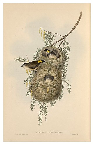 023-Acanthiza de cola amarilla-The Birds of Australia  1848-John Gould- National Library of Australia Digital Collections