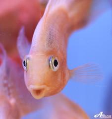 Tiyaaa!! (ZiZLoSs) Tags: fish macro canon eos aquarium focus 7d kuwait usm f28 aziz ef100mmf28macrousm abdulaziz  ef100mm zizloss  3aziz canoneos7d almanie abdulazizalmanie tiyaa httpzizlosscom