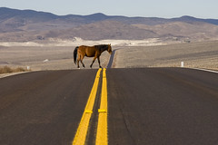 Horse Xing ( free range horse wandering through the Nevada desert) (dirk huijssoon) Tags: road horse usa freedom nevada nv interstate vs asphalt xing roadway yellowlines lonesome asphaltjungle doubleyellowline 120west etatsunies asfaltjungle