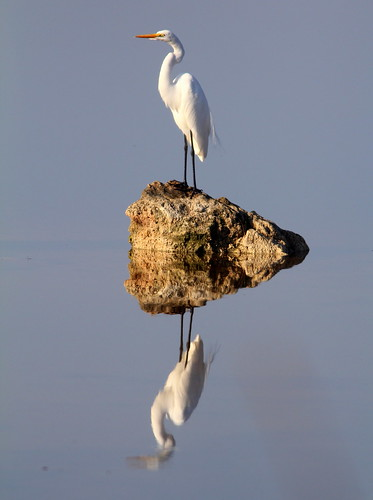 Great Egret 20110120