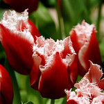 frilly red tulips at the Denver Botanic Gardens thumbnail