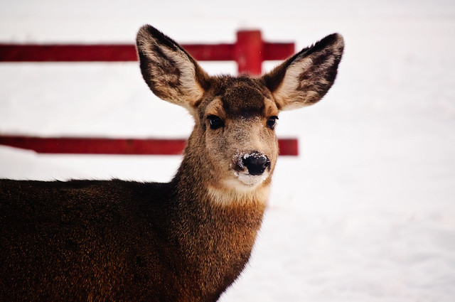 A fawn standing in front of the red wooden fence, its ears are perked up and it looks alert