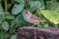White-crowned sparrow Juv (Joe Branco) Tags: nikond500 nikon sparrows nature wildlife ontariobirds birds songbirds branco joe photoshopcc20155 lightroomcc2015 joebrancophotography whitecrownedsparrowfemale green