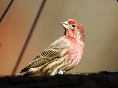 feeder finch