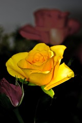 Rose 2 (Steve Graham42) Tags: plant flower nature rose flickr sony petal alpha a550