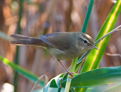 Cettia diphone, Japanese Bush Warbler No.2 (aeschylus18917) Tags: park bird nature japan tokyo nikon wildlife aves   nerima warbler  nerimaku passeriformes shakujikoen sylviidae japanesebushwarbler cettiadiphone japanesenightingale   cettia  200400mm uguisu 200400mmf4gvr d700 shakujipark  danielruyle aeschylus18917 danruyle druyle   shakujiiken 200400mmf40gvr