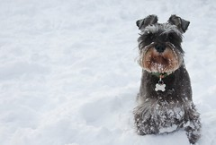 dog in the snow (jonoakley) Tags: winter dog snow cold miniature north freezing schnauzer east freeze snowing teesside jordy blizard peterlee