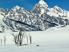 Teton Winter Hunting Grounds (wrtrekker (Jerry T Patterson)) Tags: coyote camping winter mountain snow forest snowshoe outdoors wildlife hunting parks patterson rv tetons photographersworldbestfriends