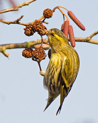 Siskin Feeding 3 (Andrew H Wildlife Images) Tags: bird nature wildlife finch coventry warwickshire wimberley siskin brandonmarsh canon7d ajh2008