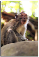 o( '.' )o Portrait of a monkey in Bali o( '.' )o (YYZDez) Tags: ocean travel sea bali forest indonesia island monkey java asia southeastasia dof bokeh indianocean ubud denpasar monkeytemple monkeyforest lessersundaislands tabanan indonesianisland