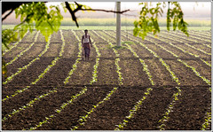 The Poison Field [..Chuadanga, Bangladesh..] (Catch the dream) Tags: light plant field rural village agrarian line soil crop agriculture poison economic seedlings economy tobacco bangladesh array export agro cashcrop chuadanga alamdanga ailhash arrayofplants gettyimagesbangladeshq2
