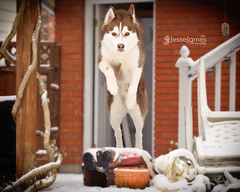 Nikki & Niko Snow Day! (Jesse James Photography) Tags: dog snow playing cute animal puppy outside nikon husky huskies siberianhusky boken d700