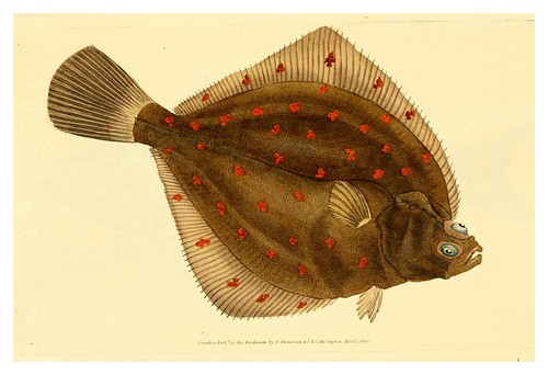 003-The natural history of British fishes 1802-Edward Donovan