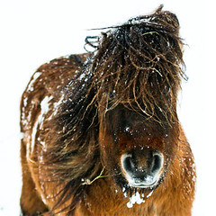 Shetlander snow pony (Vincent van Es) Tags: portrait horse hairy brown white snow cold holland ice grass animal nose pony shetlander