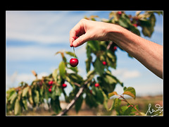 Cherry Young NSW (sachman75) Tags: red fruit cherry dof bokeh farm country young orchard nsw stonefruit sigma50mm nationalcherryfestival 5dmarkii canon5dmark2 cherryhaven