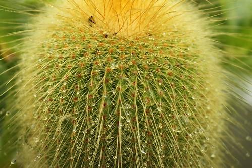 Cactus in rain