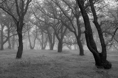 They Remember (Eric Leslie) Tags: ca grass fog us country dew bnw damp oaktrees redbluff