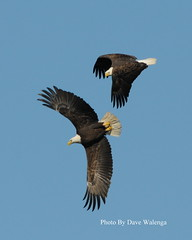 Eagles Playing Tag (David Walenga) Tags: river md bald maryland eagles baldeagles walenga
