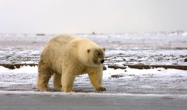 Полярный медведь гибрид