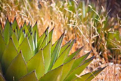 Agave (Century Plant) (sunsinger) Tags: plant mountains newmexico southwest leaves succulent tequila grasses agave sunlit rosette centuryplant gilanationalforest notacactus agavenectar basalrosettes