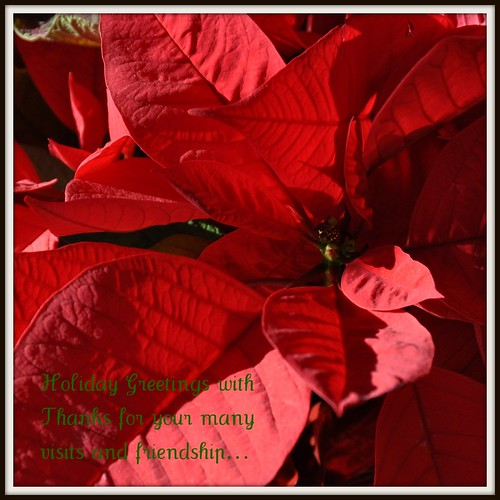 Poinsettia... December 2010
