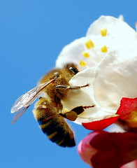 Abella - Abeja - Bee - Api - Abeille (marc pt) Tags: insectos macro animals spain nikon huesca bee 1001nights abeja 2009 api abeille pirineos sobrarbe aragn insecta abella badan lafortunada insectum 1001nightsmagiccity tellasin sigma70mmf28dgmacroex