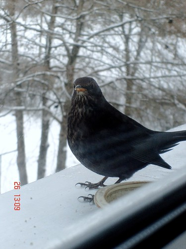 Mrs. Blackbird on my kitchen window sill