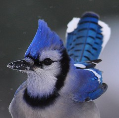 Portrait of a Blue Jay Part 1