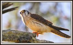 3-Culebra contra falco sparverius!! Esta serie se la prometi a mi hermano Lucas Limonta y no quiero tener deudas antes de que termine el 2010!! Cuyaya hembra-Falco sparverius-American Kestrel. Residente reproductor, Cord. Central!! (Cimarrn Mayor !!!7,000.000 DE VISITAS, GRACIAS!!) Tags: naturaleza bird fauna dominicanrepublic ave libre americankestrel republicadominicana oiseaux montaas panta arroyofro rapaz hembra falcosparverius constanza dominicano cordilleracentral canoneos7d cuyaya canon7d libertee cimarronmayor residentereproductor telefoto700 cordcentral arroyofriovideo2