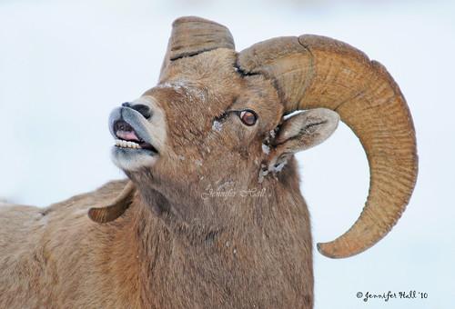 bighorn sheep lip curl