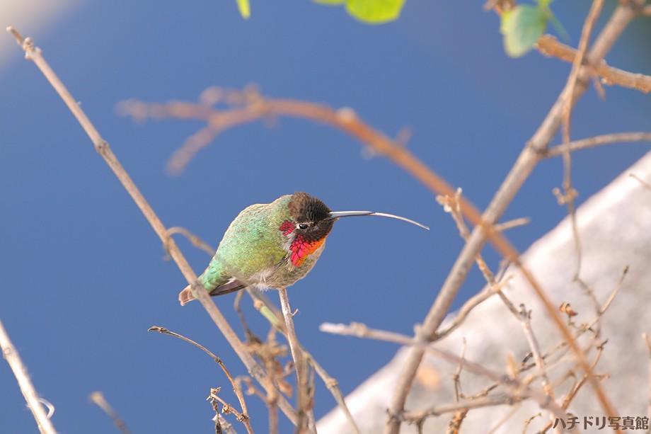 Anna's Hummingbird 123010-2