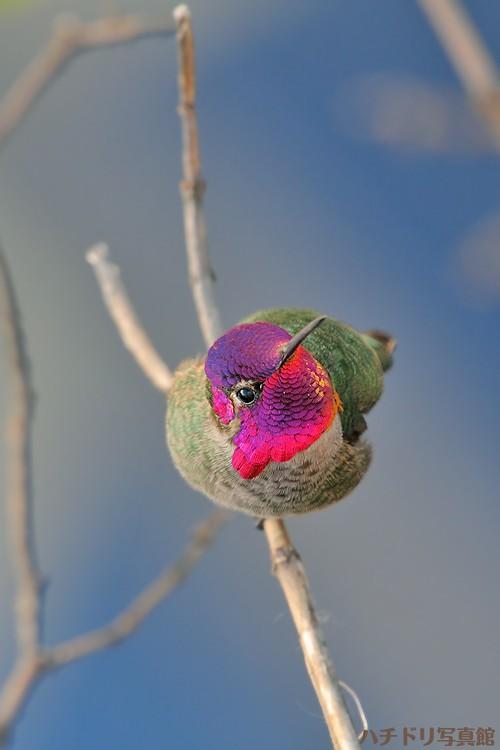 Anna's Hummingbird 123010