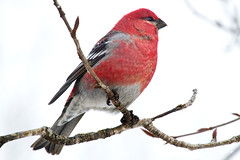 Pine Grosbeak (Boreal Photography) Tags: nature birds wildlife grosbeak boreal pinegrosbeak