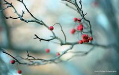 Berries (Rafakoy) Tags: city red urban color colour tree film nature colors 35mm 50mm berry focus colours berries kodak bokeh f14 scan professional queens negative epson 100 woodside ektar c41 canonef50mmf14usm canoneoselan7n eoselan7n kodakektar100 kodakprofessionalektar100 epsonv600 epsonperfectionv600