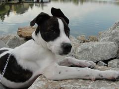 My boy (LisaKurr) Tags: white lake puppy rocks pit pitbull brindle trey mygearandme